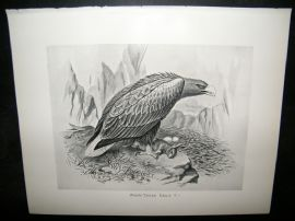 Frohawk 1898 Antique Bird Print. White Tailed Eagle